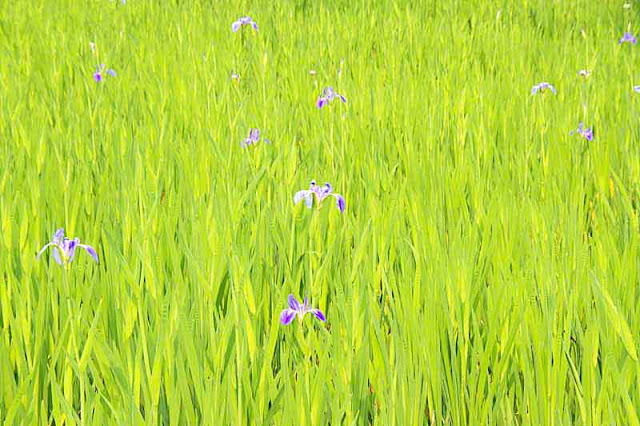 flower, fields, iris, Okurareruka