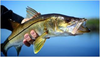 Nama Nama Ikan Laut Dangkal SNOOK ( CENTROPOMUS UNDECIMALIS )