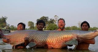 Ikan arapaima gigas termasuk salah satu jenis ikan air tawar terbesar  Kabar Terbaru- MENGENAL IKAN ARAPAIMA