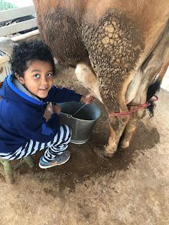 leite ao pé da vaca