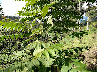 Cedro negro (walnut) - juglans neotropico - colombia andes tree arbol leaves bark nuts