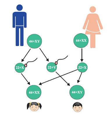 मनुष्यों में गुणसूत्रों के आधार पर लिंग निर्धारण