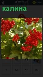 Около стен дома растет куст красной спелой малины. Ягоды свисают гроздями, которые можно сорвать