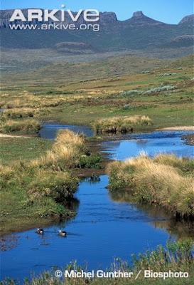 Blue winged Goose habitat