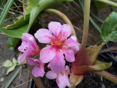 Bergenia Plants flowering in winter weird weather Green Fingered Blog