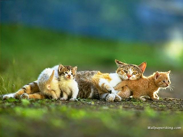 صور قطط وخلفيات للديسك توب متنوعه