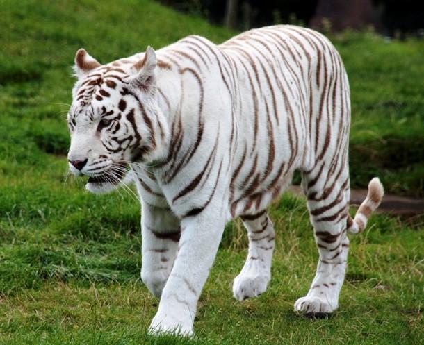 11 Binatang Berwarna Putih/Albino Paling Keren