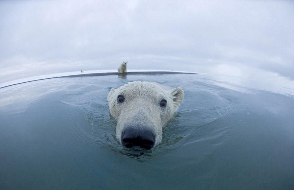 الدببة القطبية 0_94f0f_c3080404_ori