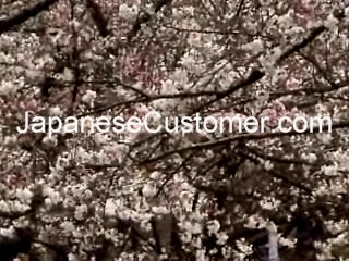 Japanese cherry blossom copyright 2009