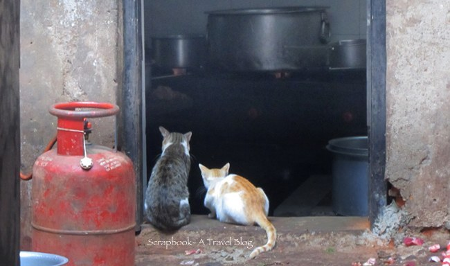 Hungry Cats from Goa