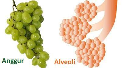 anggur mirip alveolus, anggur dan alveoli paru-paru