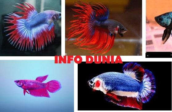 Jenis Ikan Cupang Hias, Aduan dan Termahal