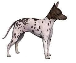 Anjing Ras American Hairless Terrier