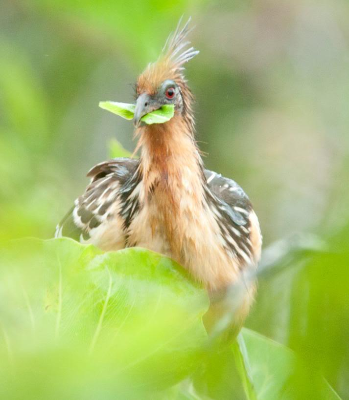 Hoatzin bird eating leaves.