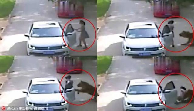 فيديو... نمر سيبيري ضخم يفترس سيدة ويصيب والدتها في حديقة حيوانات بالصين! شاهدوا كيف حدث ذلك!