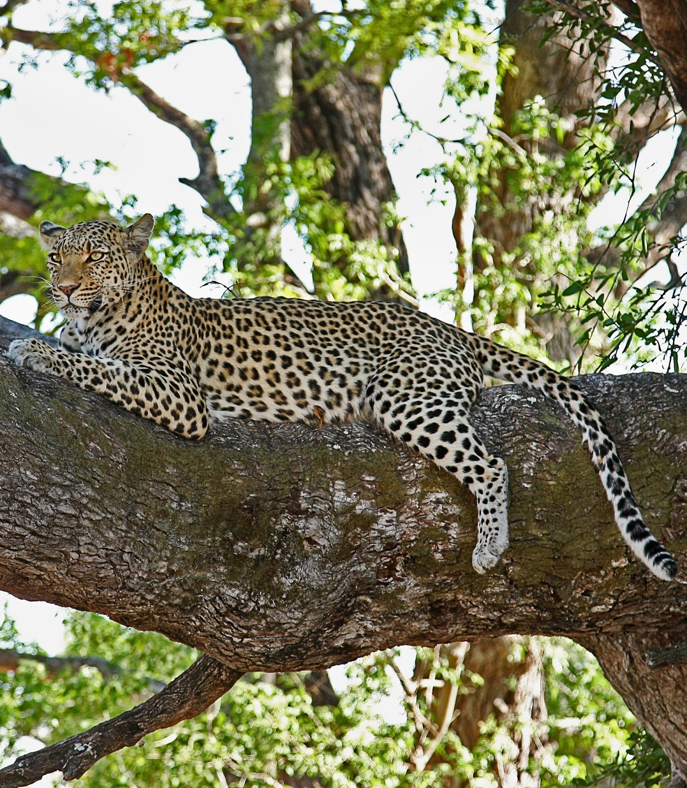 Leopard disguised in a tree.