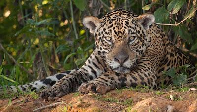 Vida Selvagem: Onça-Pintada - Divulgação