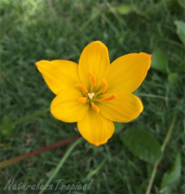Flor brujita amarilla, nombre popular de Zephyranthes citrina