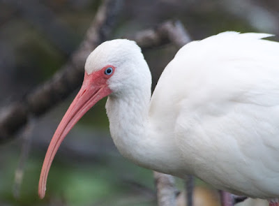 White Ibis (Guara alba)