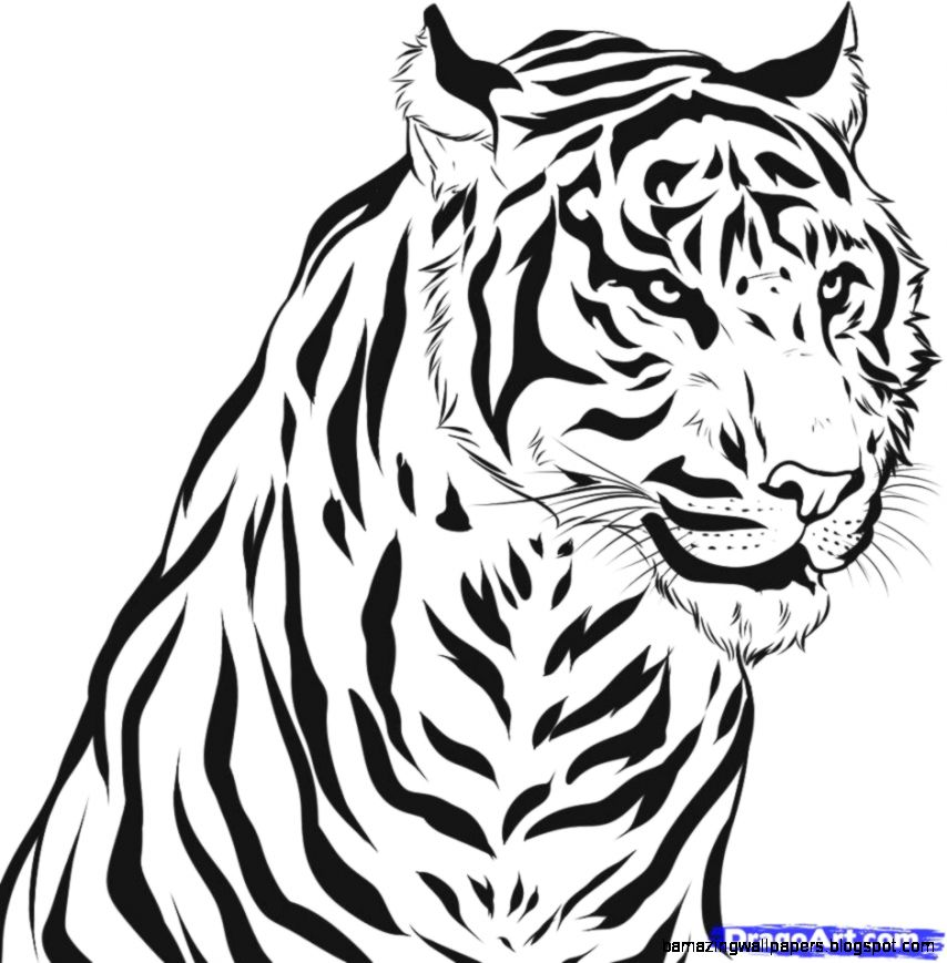 tiger coloring pages realistic dragons   Color Tiger Drawing   Amazing Wallpapers