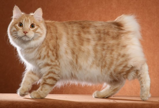 5 Pics Of Japanese Bobtail Cats Which Can Brighten Your Day
