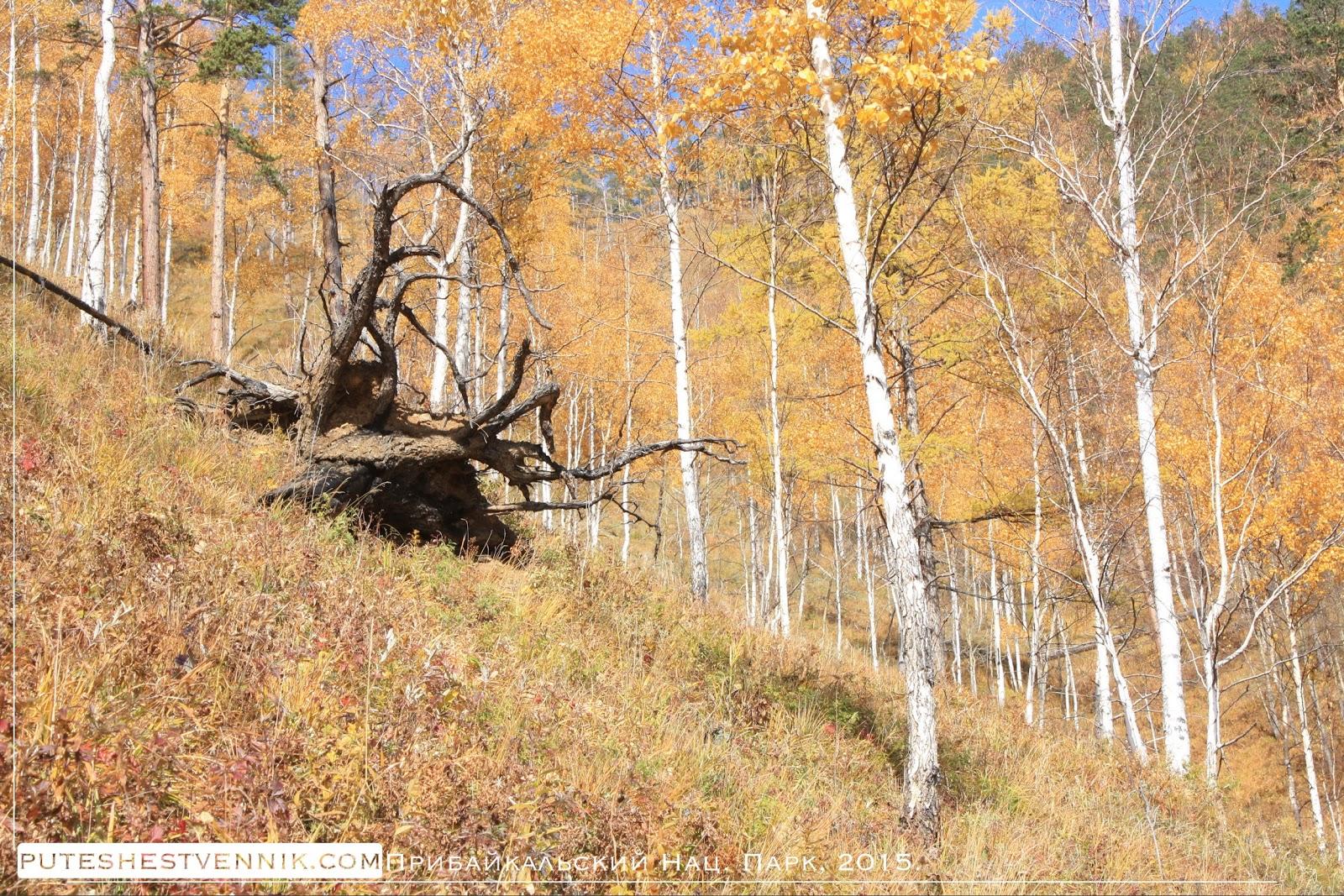 Корни поваленного дерева и березовый лес