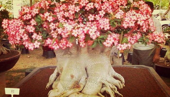 Planta obesum