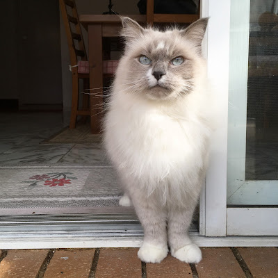 Oliver the cat stands in the doorway. He has a grey face and ears, white fur and piercing blue eyes.