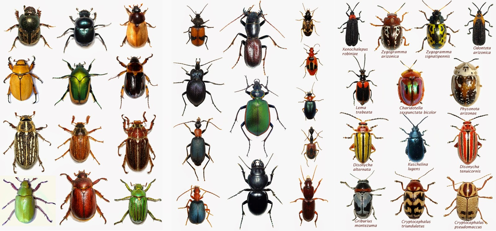 Beetle Identification Chart Photo 6