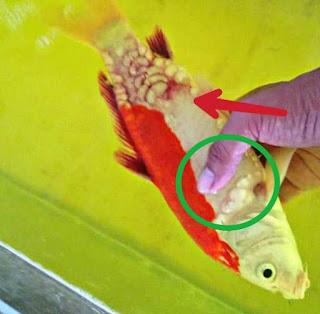 Jenis penyakit ikan koi bakteri aeromonas