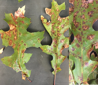 Oak leaves with irregular brown spots caused by a fungus