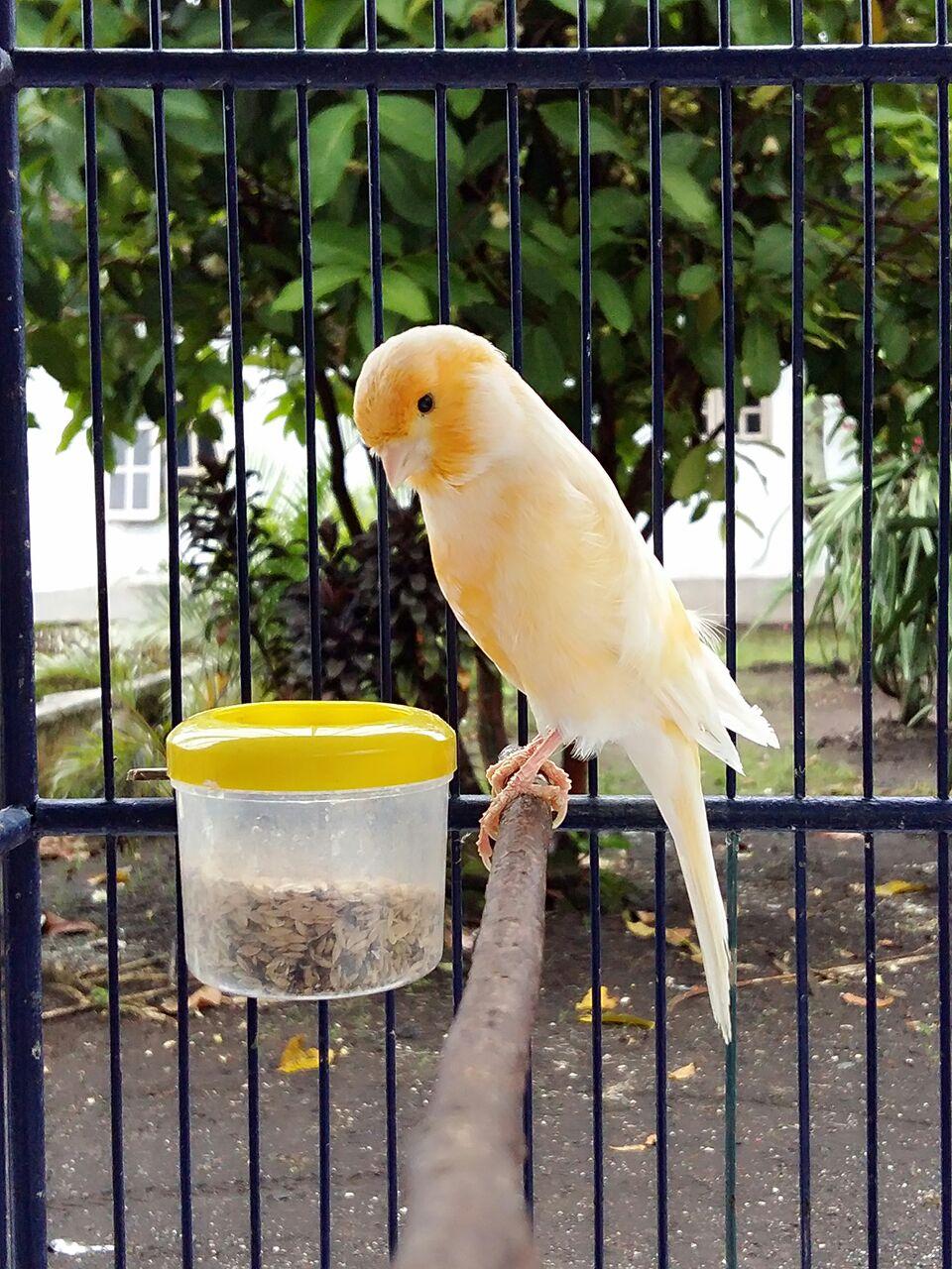 Download Suara Burung Kenari Juara Gacor