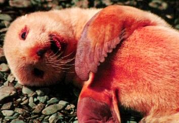 Foto de un lobo marino pequeño