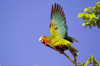Perroquet à Caiman Brac