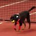 Αδέσποτα σκυλιά εργάζονται σαν ball boys (Βίντεο)