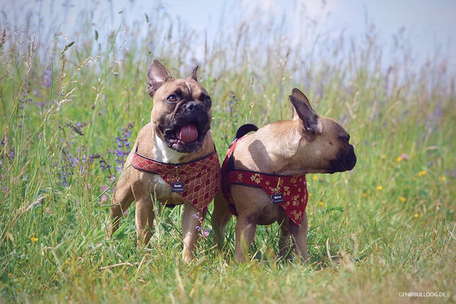 Hundeblog Genki Bulldog & Das perfekte Foto