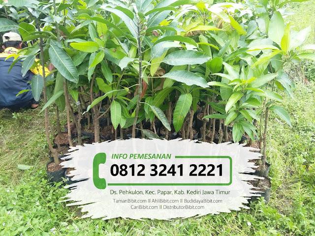 Jual Bibit Buah Durian Musang King