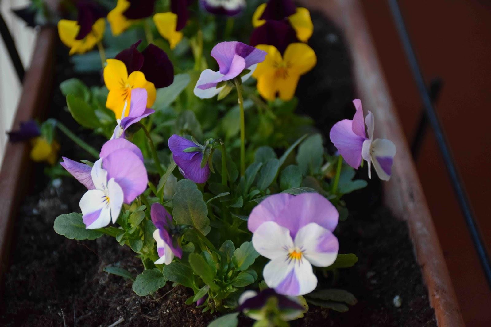 Alessandria post il blog di pier carlo lava viola del for Viola cornuta inverno