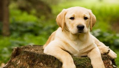 Salud perro labrador