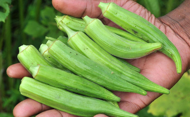 Okra - One Of The Most Powerful Natural Remedies For Diabetes, High Cholesterol And Fatigue