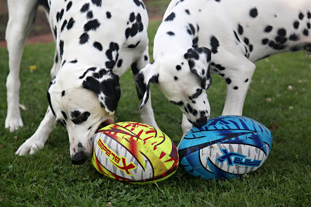 Adult Dalmatian dog and puppy playing with rugby balls