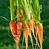 How to harvest super sweet and nutritious carrots