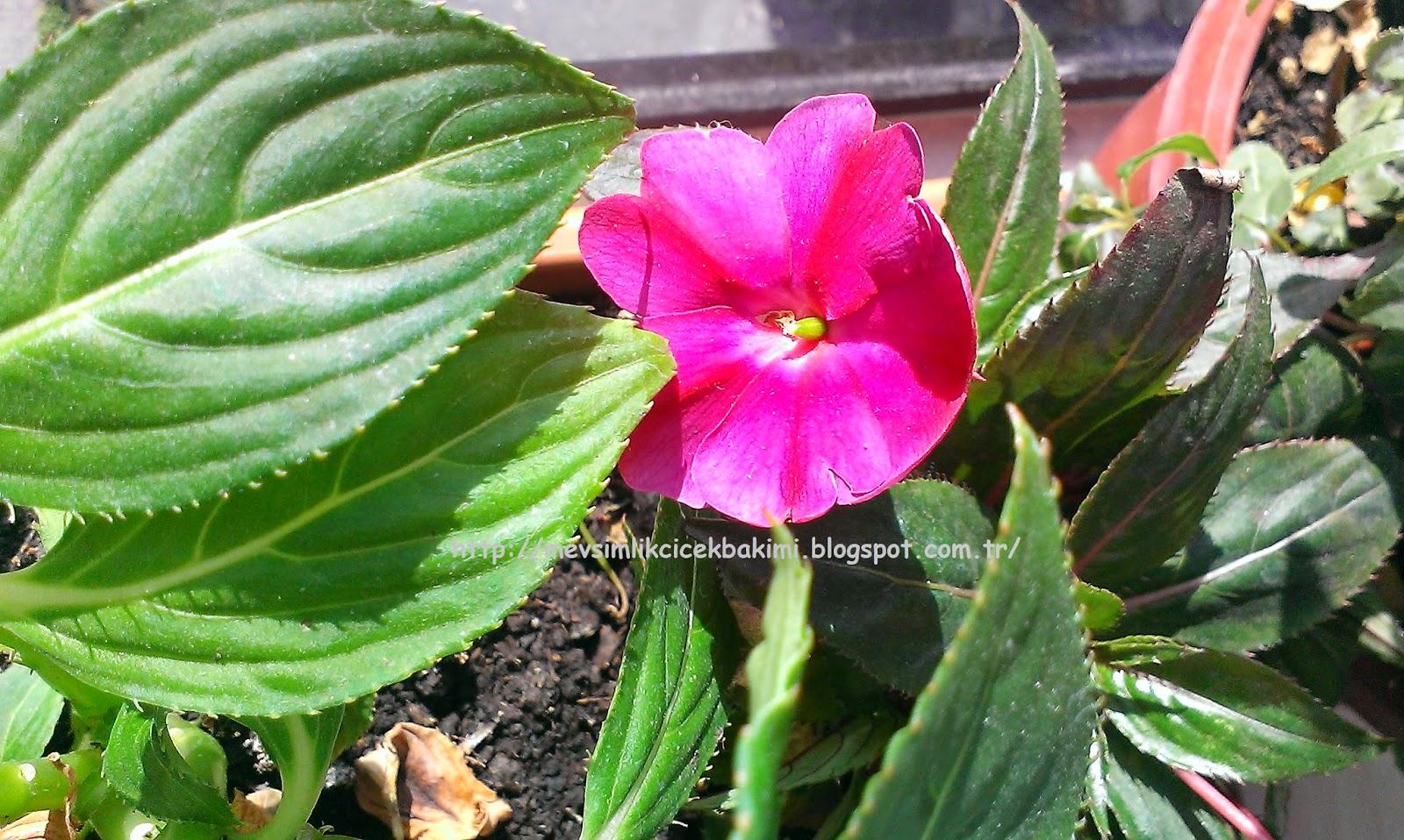 Cam Güzeli Çiçeği Bakımı