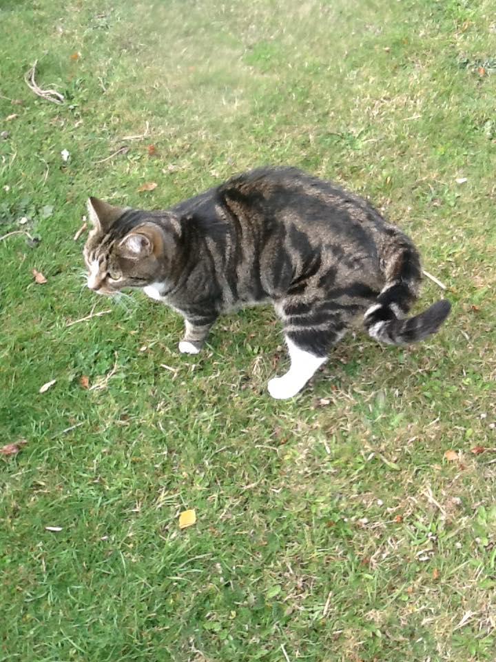 Kucing bermain di rumput