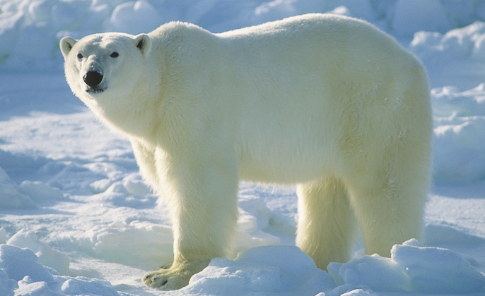Our Beautiful World: Polar Bear