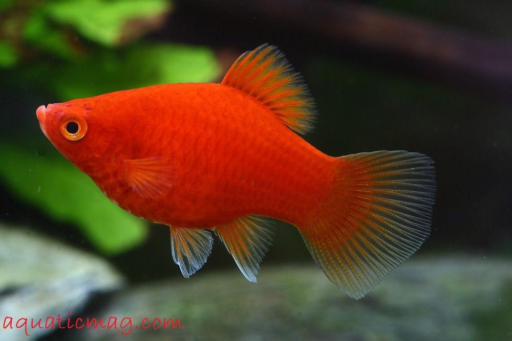 Gambar Ikan Hias Platy Profil Cara Merawatnya
