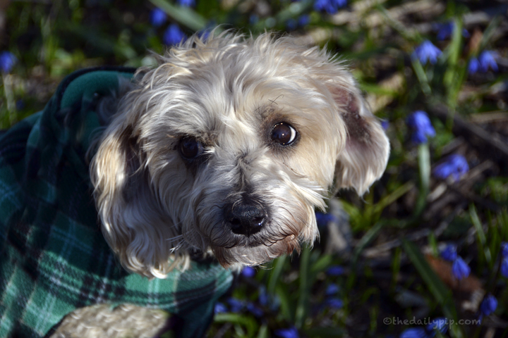 rescued Yorkie-poo spring flowers