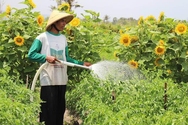 petani menyiram bunga matahari