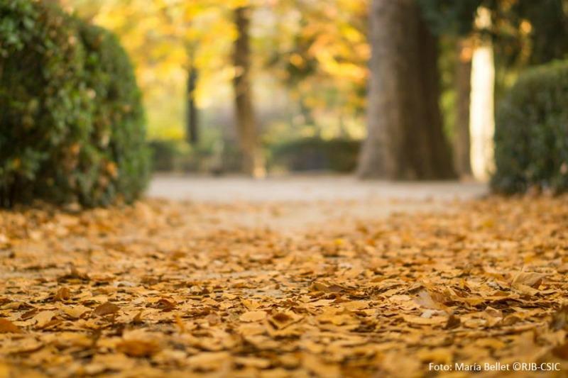 Alfombras de hojas de otoño caídas en el suelo en los senderos del jardín botanico de Madrid