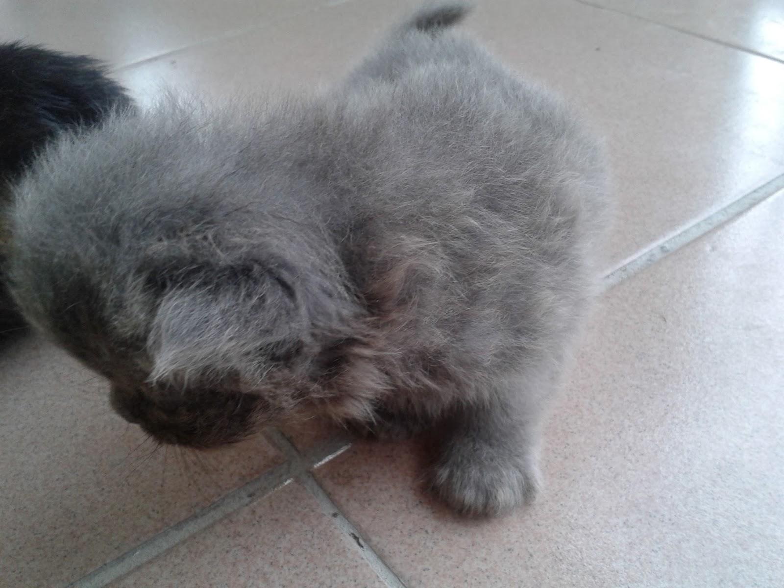 Kumpulan Kucing Warna Kelabu Comel